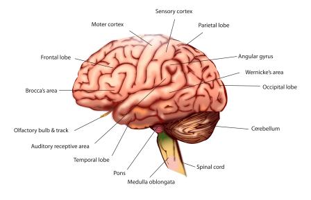 Srdce nese naše ambice a hodnoty, mozek se postará o paměť. Klikněte zde a zlepšete zapracujte na své paměti.
